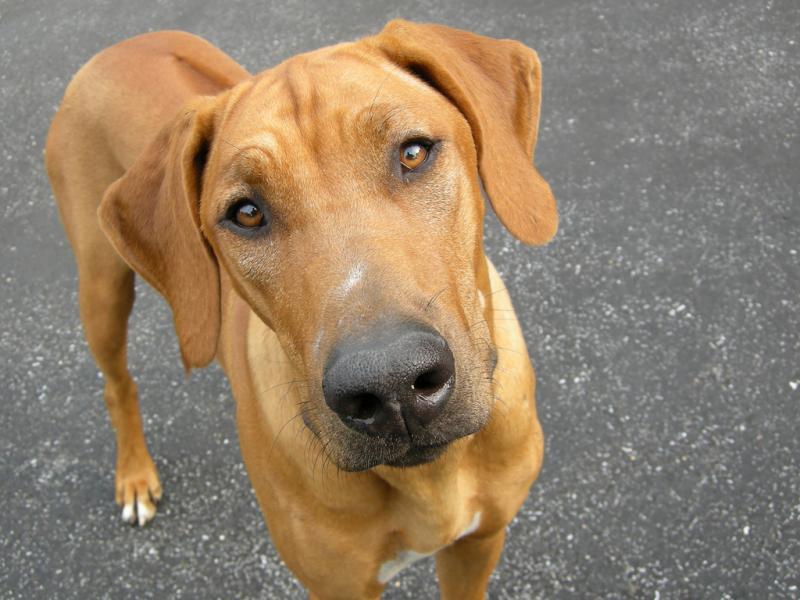 mejores razas de perros guardianes crestado rodesiano