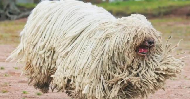 mejores razas de perros guardianes komondor