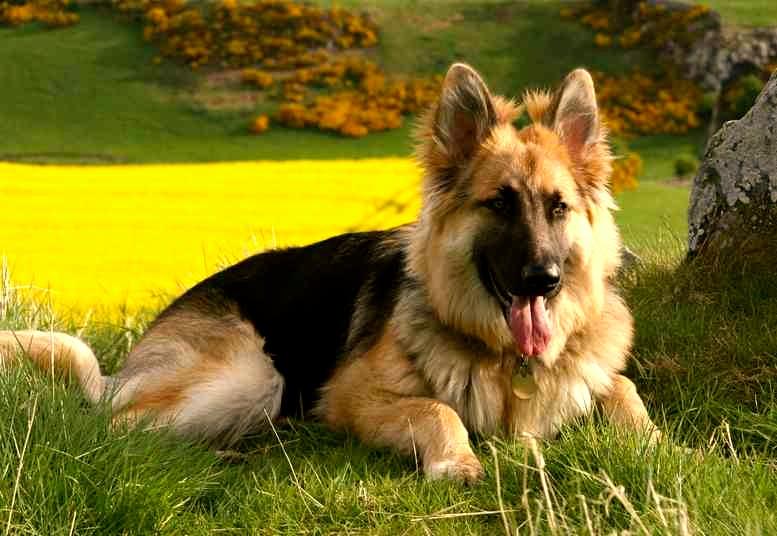 mejores razas de perros guardianes pastor alemán