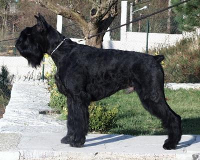 mejores razas de perros guardianes schnauzer gigante