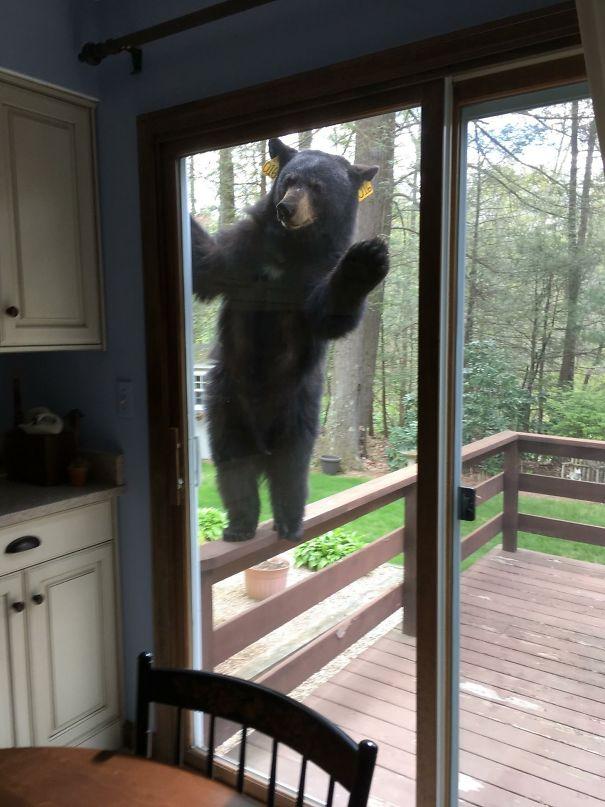 oso asomado a ventana