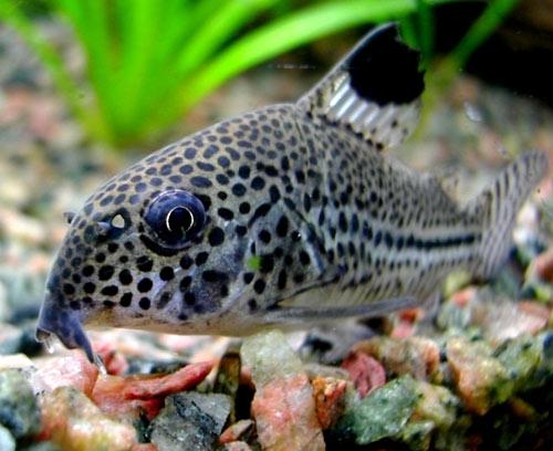peces para principiantes Corydoras