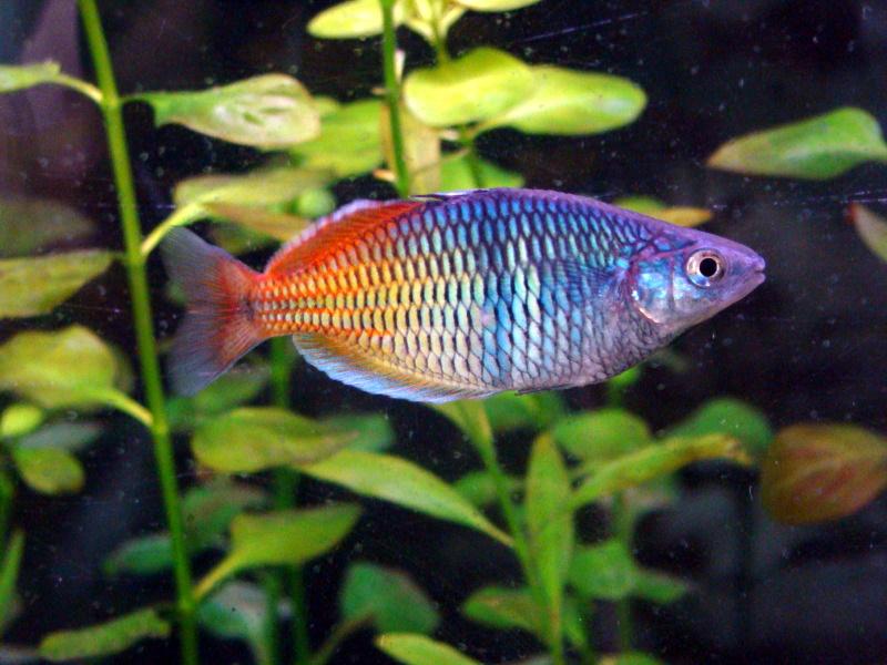 peces para principiantes Peces arcoíris