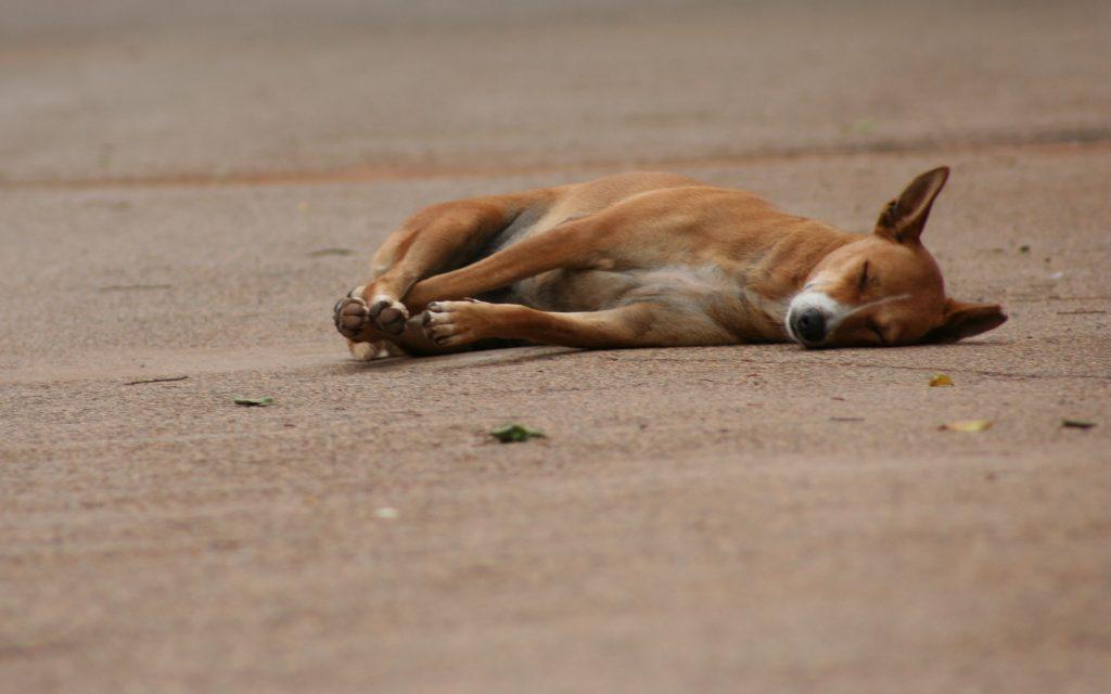 perro carretera atropellado