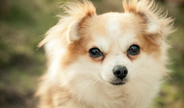 perro de raza chihuahua