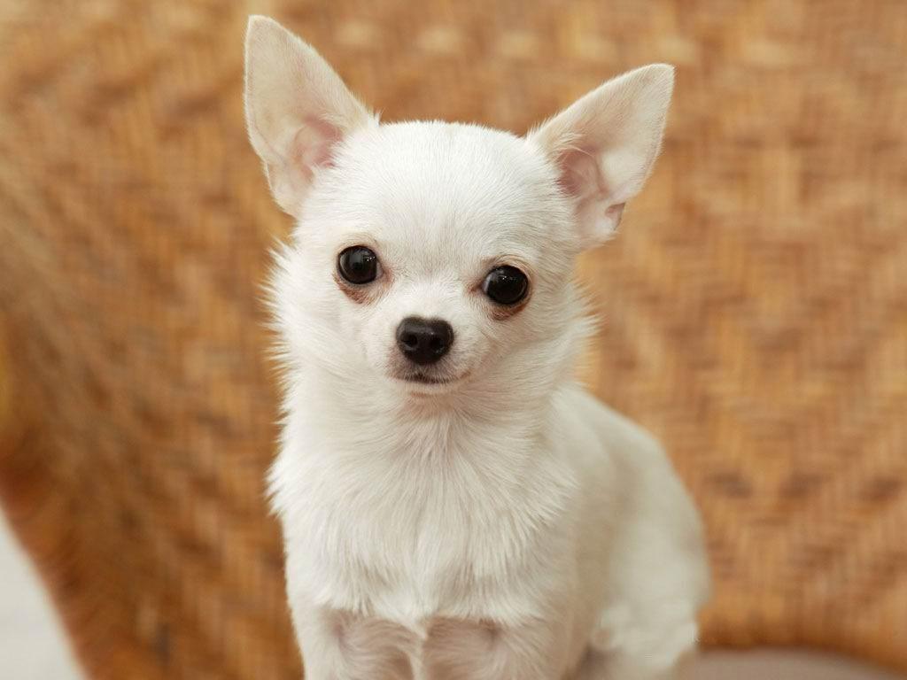 10 Curiosidades Sobre La Raza De Perro Chihuahua Te Dejarán Flipando