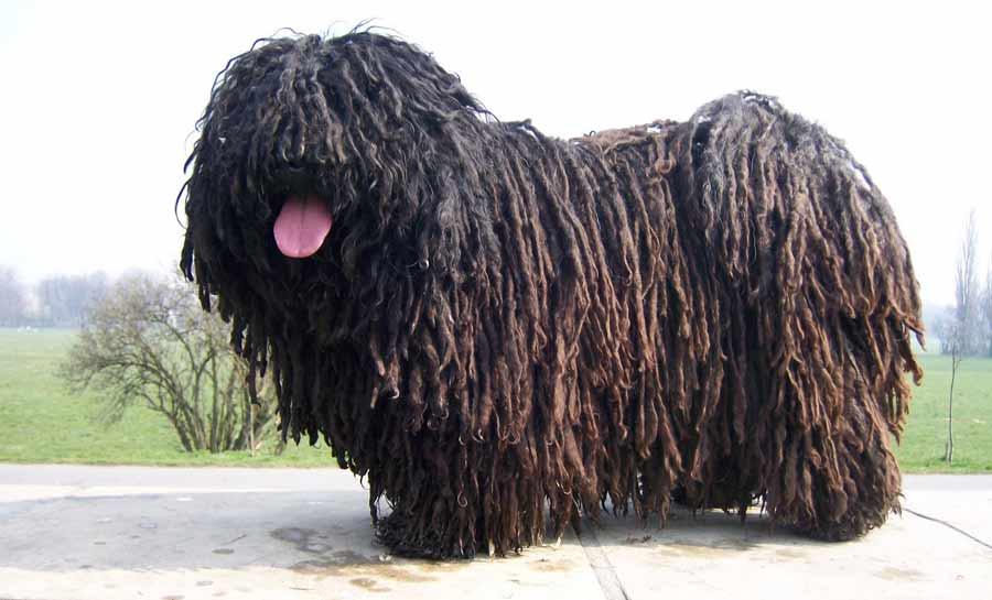 mejores razas de perros guardianes puli