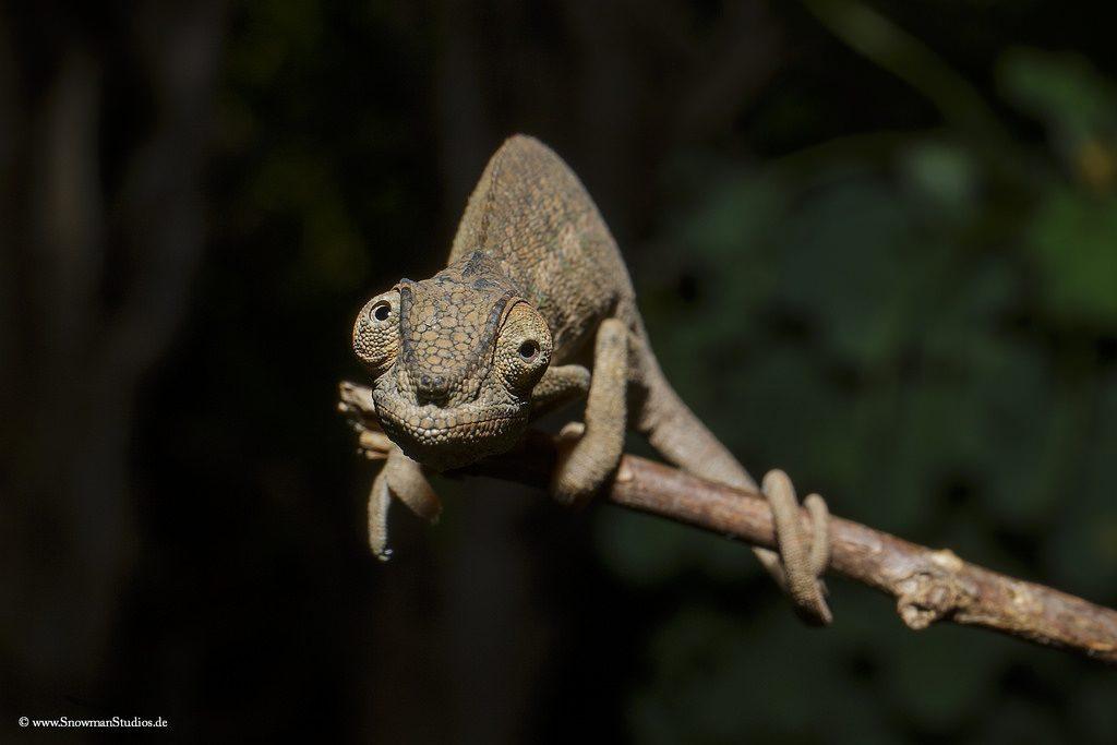 tipos de camaleones Brookesiinae