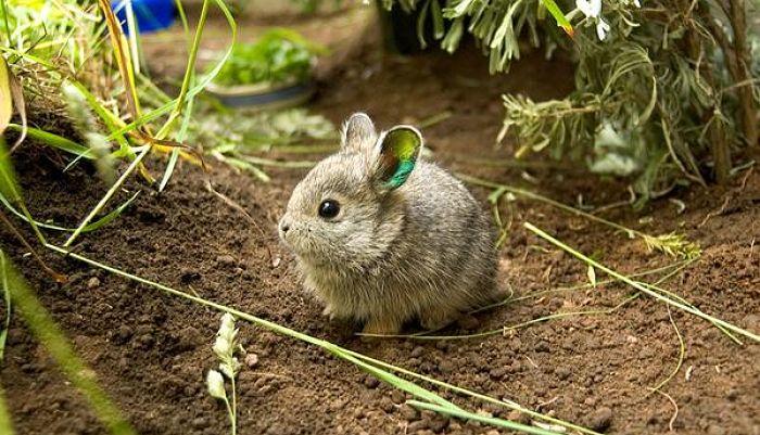 12 preciosas razas de conejos enanos