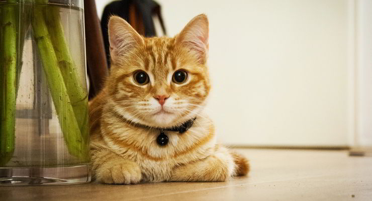 Beneficios físicos de castrar un gato