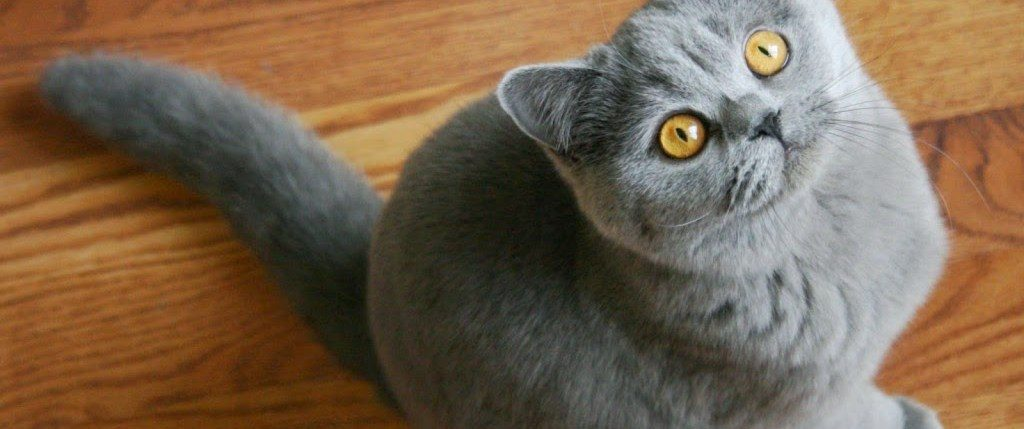 Cómo cuidar a un gato británico de pelo corto