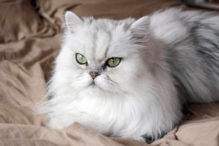 Cómo cuidar a un gato persa chinchilla