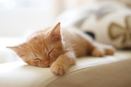 Cómo es el sueño de los gatos