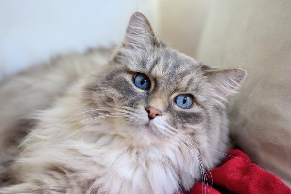 Cómo prevenir las bolas de pelo en los gatos