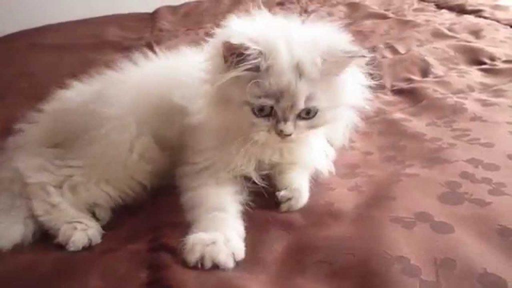 Carácter del gato persa chinchilla