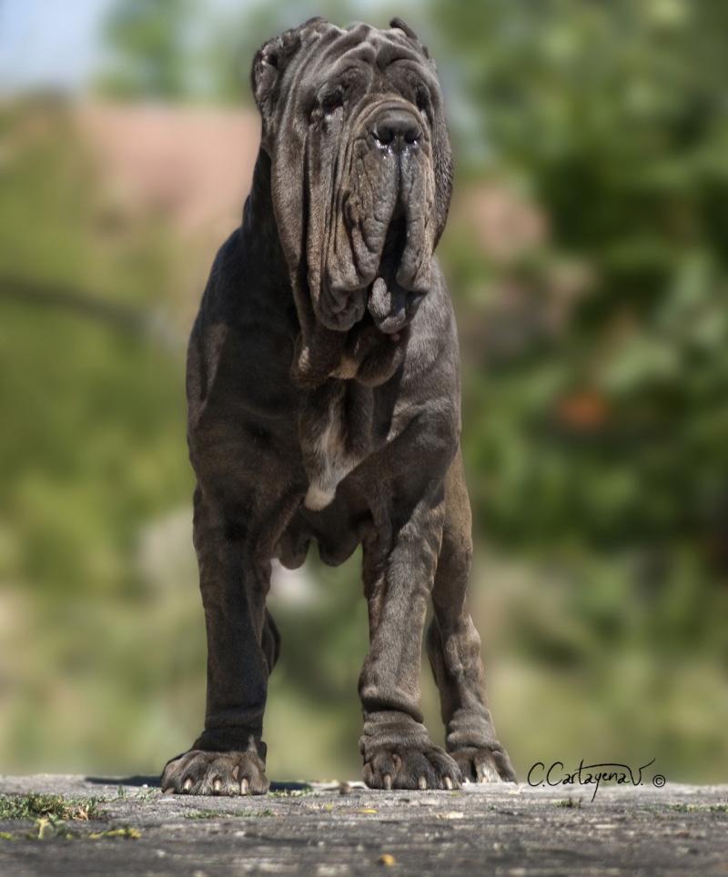 Características del cane corso