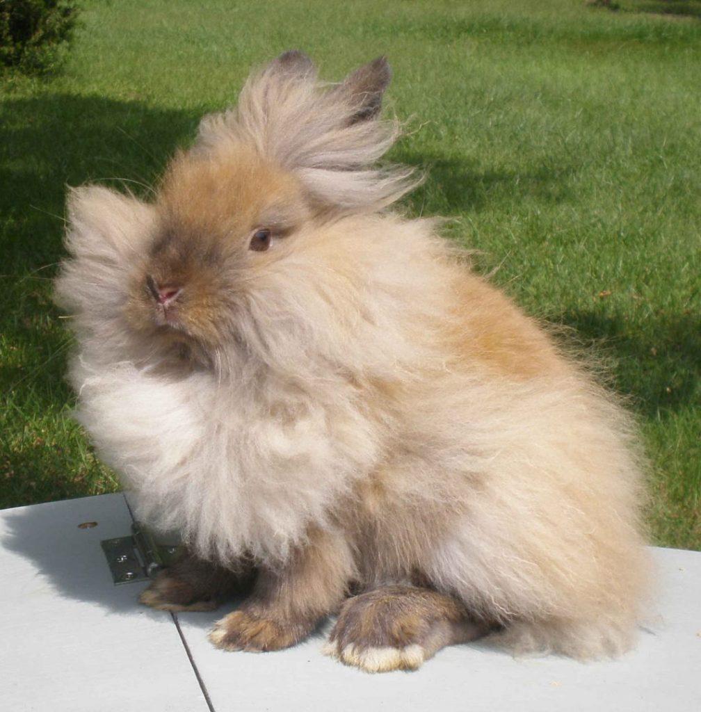 Características del conejo lionhead o cabeza de león