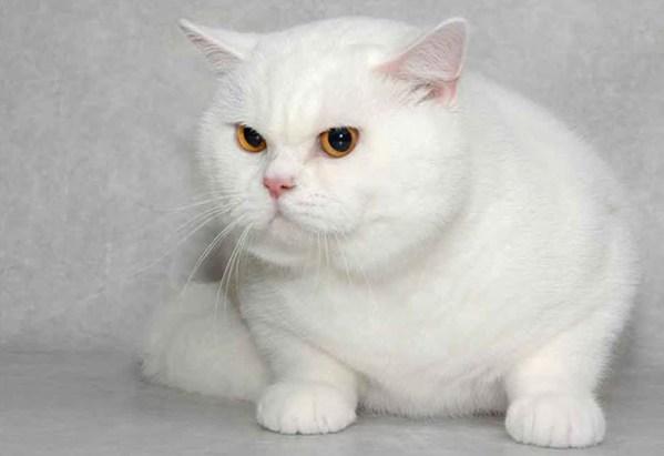 Características del gato británico de pelo corto