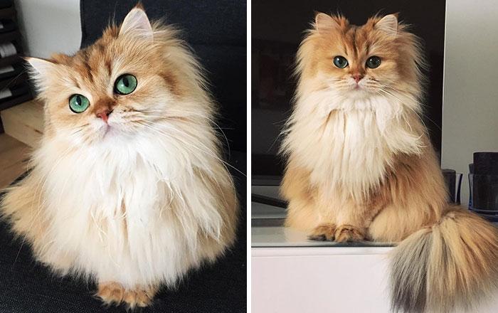 Características del gato británico de pelo largo