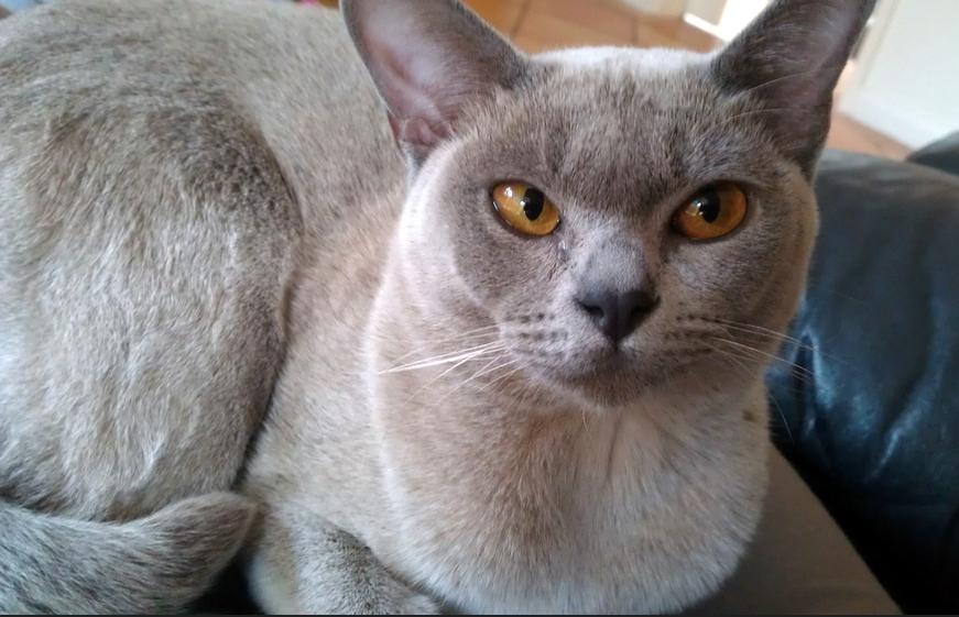 Características del gato burmés