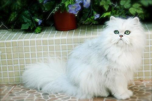 Características del gato persa chinchilla