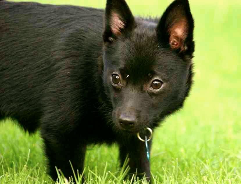 Características del perro schipperke