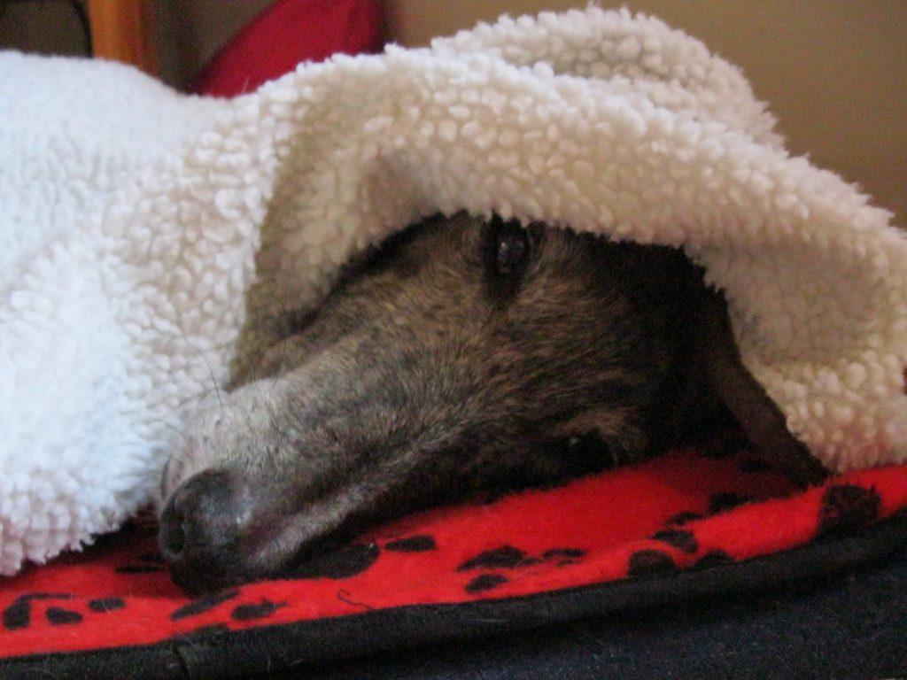 Causas de la hipotermia en perros