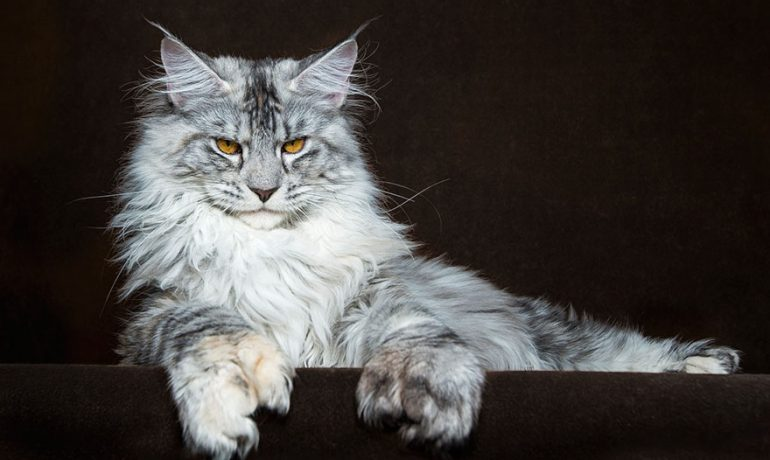 Comportamiento de la raza de gato maine coon