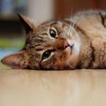 Conócelo todo sobre primeros auxilios para gatos
