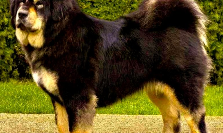 Conoce la majestuosa raza de perro dogo del Tíbet