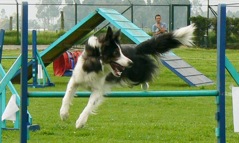 Consejos para iniciarse en agility canino