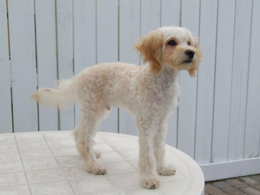 Cortar o no cortar el pelo al perro en verano