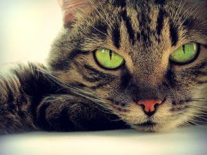 Cuál es la mejor edad para esterilizar a un gato