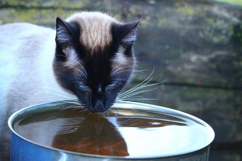 Cuánta agua debe beber un gato