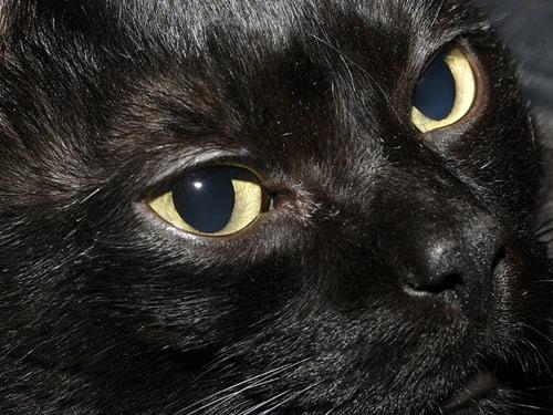 Cuidados de la raza de gato Bombay