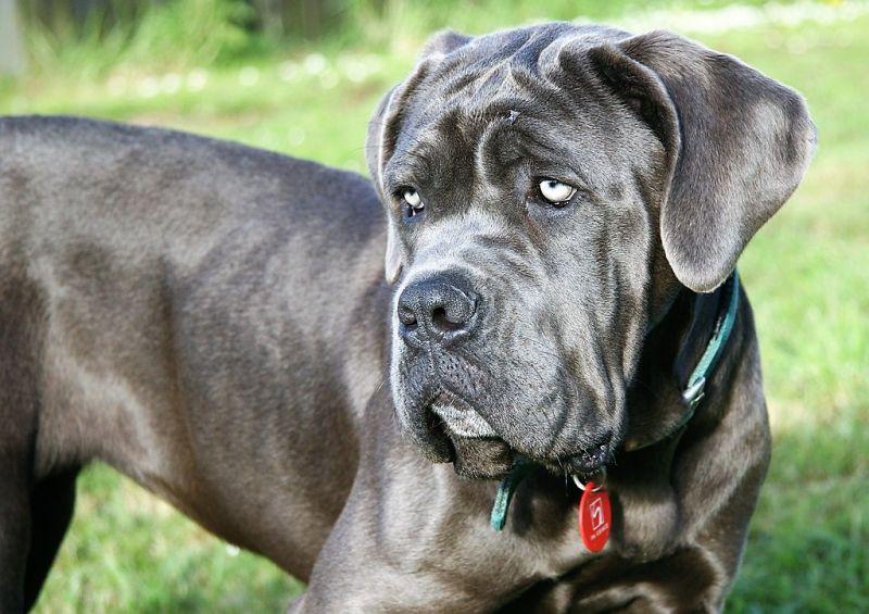 Cuidados de un perro mastín napolitano