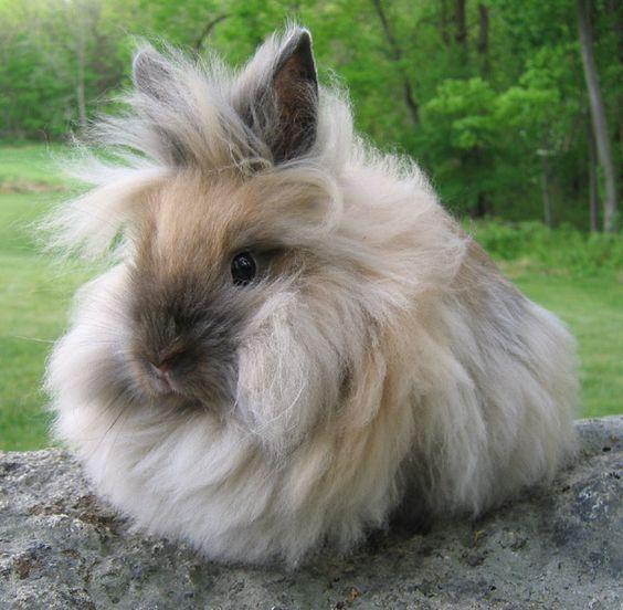Cuidados del conejo lionhead