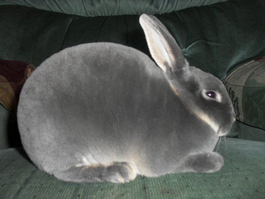 Cuidados del conejo mini rex