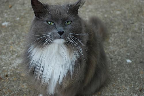 Cuidados del gato británico de pelo largo