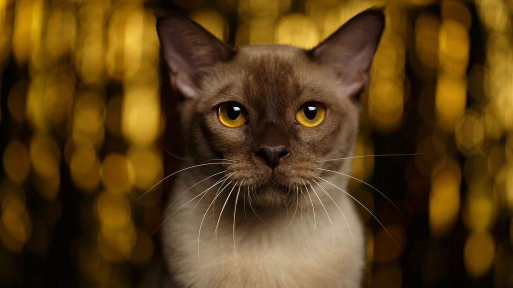 Cuidados del gato burmés