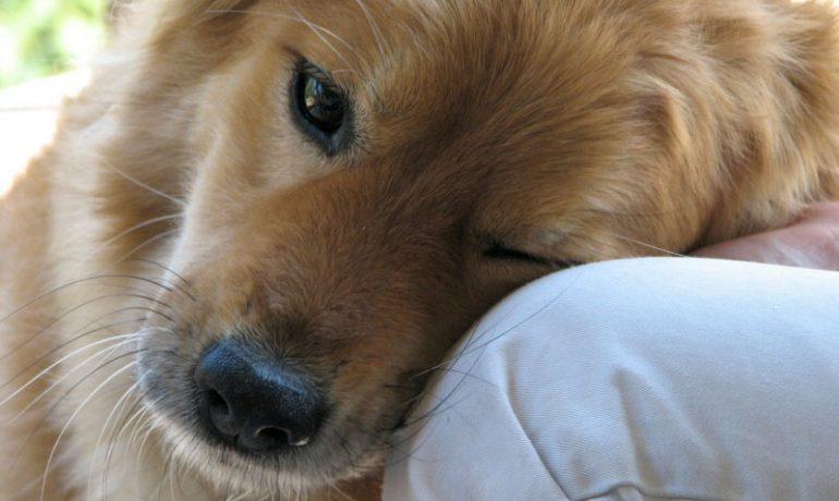 Cuidados que necesita un perro operado de entropión
