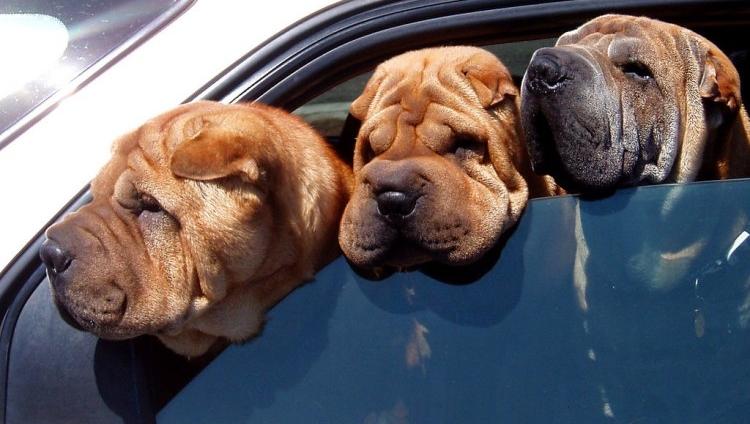 Dermatitis fúngica en perros