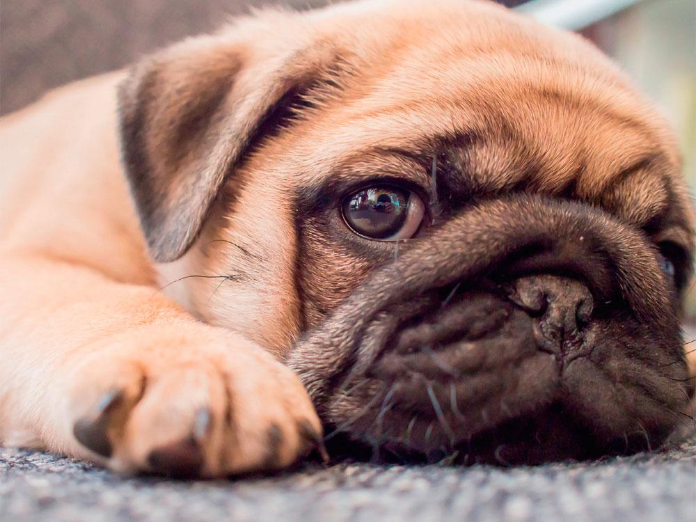 Dermatitis seborreica canina