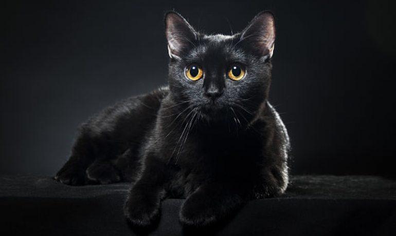 Descubre a la preciosa raza de gato Bombay
