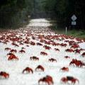 Descubre la migración del cangrejo rojo de la isla de Navidad