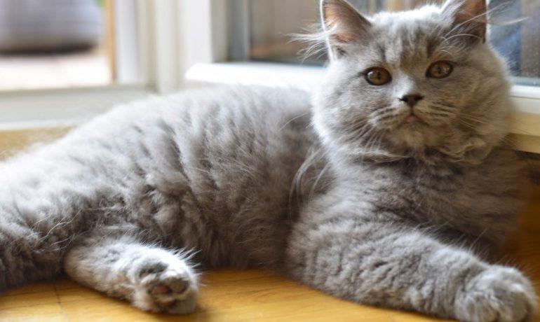 Descubre la raza de gato británico de pelo largo