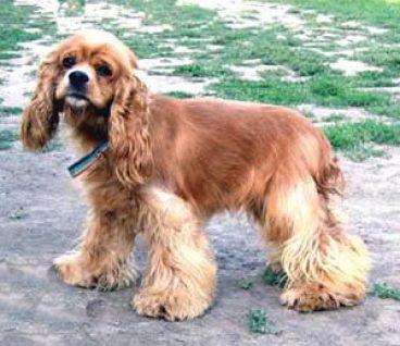 Descubre la raza de perro cocker spaniel americano