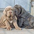 Descubre la raza de perro mastín napolitano