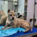 El Pit Bull con pelaje de guepardo