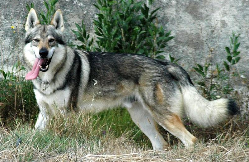 El adiestramiento del perro lobo checoslovaco